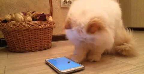 Кошки и интерактивные игры. Юмор. Кошки.