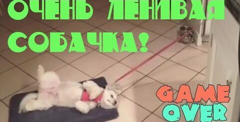 Лучшие Угарные Приколы KepkaTv - Очень ленивая собачка! Подборка Смешных Приколов Fail Compilation