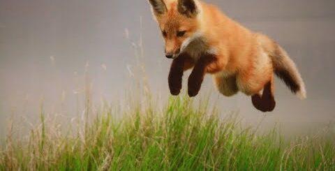 Веселые лисички: видео приколы про смешных лисят