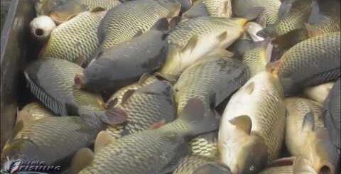 КАРПОВОЕ ХОЗЯЙСТВО# Столько рыбы я еще не видел!!!