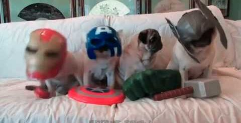 Мопсы #4   Приколы с мопсами  Смешные мопсы   Pugs   Fun with pugs   Funny Pugs