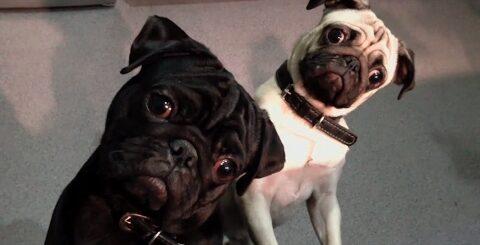 Мопсы #3 | Приколы с мопсами| Смешные мопсы | Pugs | Fun with pugs | Funny Pugs