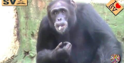 A Funny Monkeys Compilation - Funny Monkey Videos | Приколы с обезьянами Обезьяна КУРИТ  *SV HD*