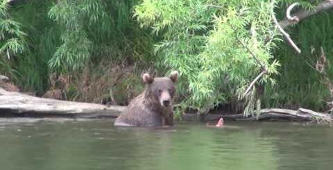 Медведи! Приколы с животными!