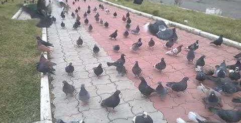 голуби прикол.Угарные приколы