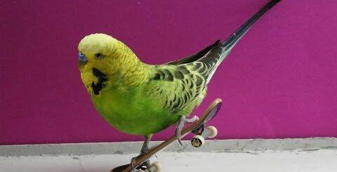Попугаи приколы! Смешные попугаи веселятся и катаются на скейте!