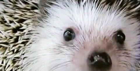 Hedgehog. Igel. Ежик, ёж и ежики. Приколы с ежиками. Смешные и агрессивные ежики. Подборка.