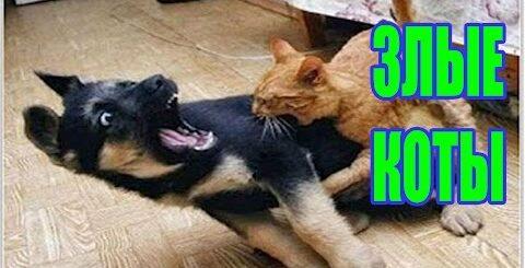 КОТЫ-КОЗЛЫ!!! / Самые ржачные приколы с котами 2016