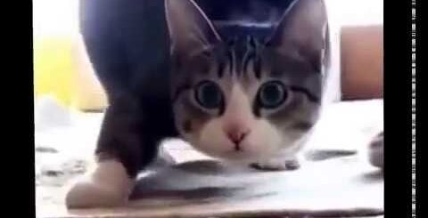Диско кот. Trap cat Приколы с котами, Кот танцует под музыку. Вигу вигу