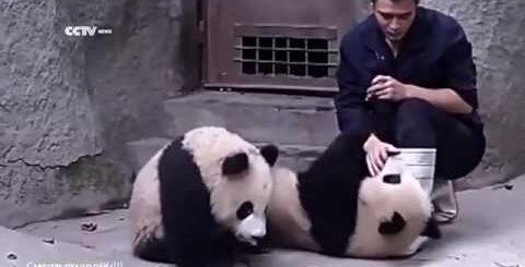 Невероятные приколы с пандами!