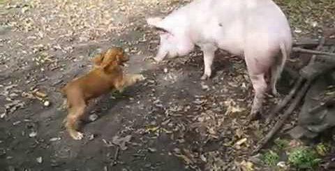 Приколы. Смешные собаки. Спаниель Бадди и поросенок Васька
